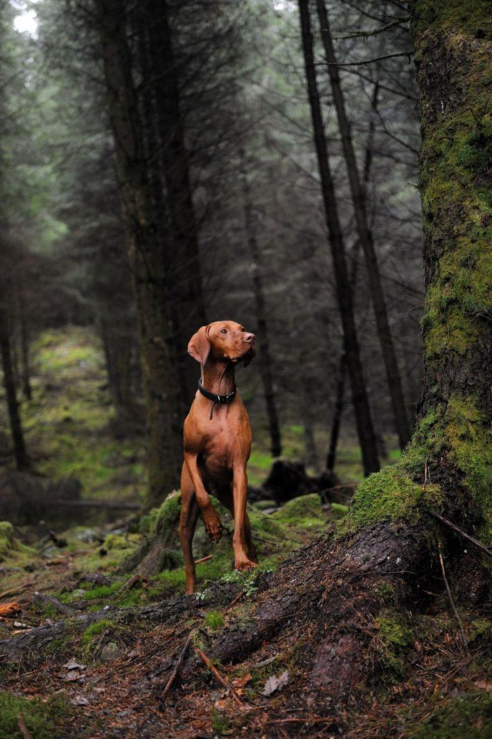 Um perdigueiro húngaro no Parque Florestal Queen Elizabeth, na Escócia. Historicamente, esta raça acompanhava caçadores, encontrava ...