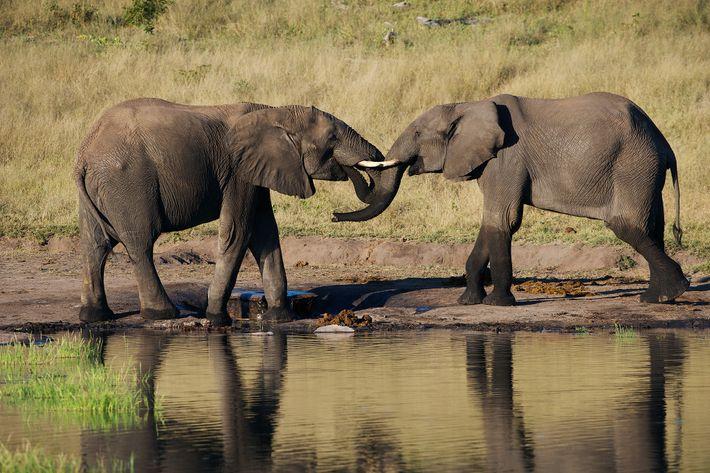 Elefantes Alvo de Caça