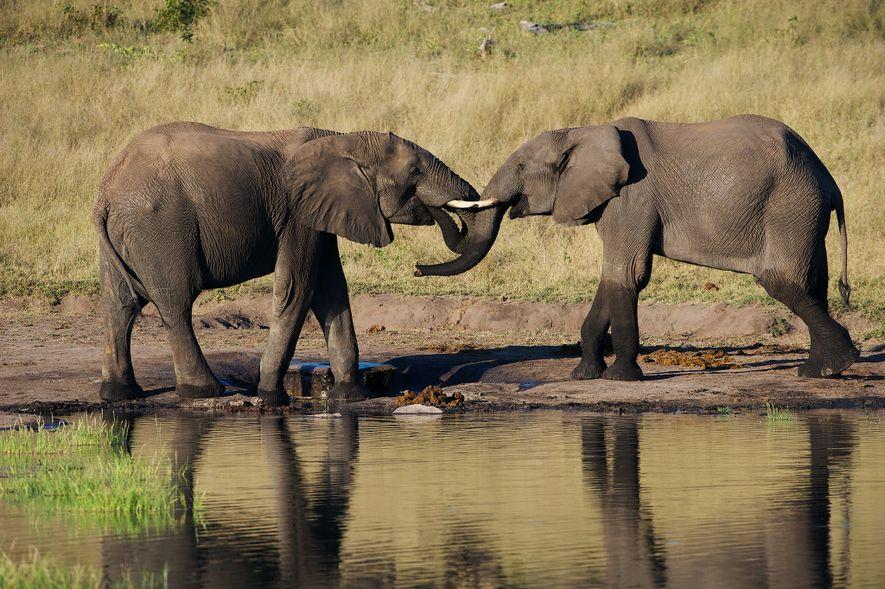 Nesta foto de arquivo, dois elefantes jovens interagem num ponto de água, no Zimbabué.