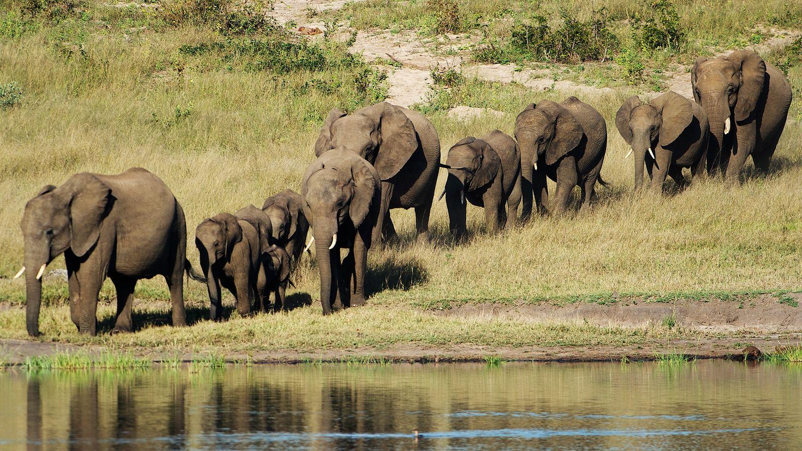 Elefante Mata Caçador de Troféus
