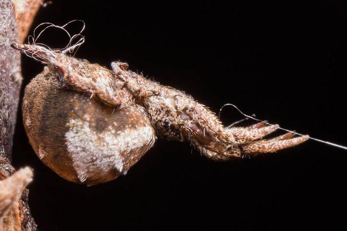 Numa experiência feita em laboratório, a Hyptiotes cavatus mantém a sua teia esticada, com a linha ...