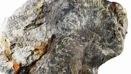 Paleontólogo descobre fóssil com mais de 300 milhões de anos na Bacia Carbonífera do Douro