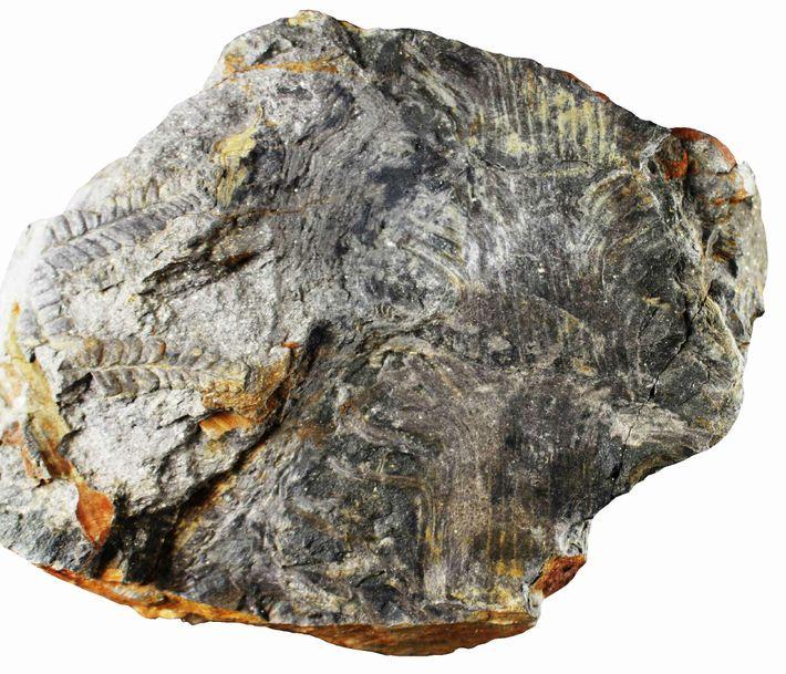 Iberisetum wegeneri (holótipo).