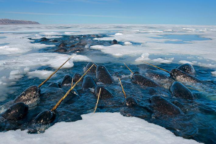 Narvais a descansar numa abertura no gelo marinho, no Estreito de Lancaster, em Nunavut, no Canadá.