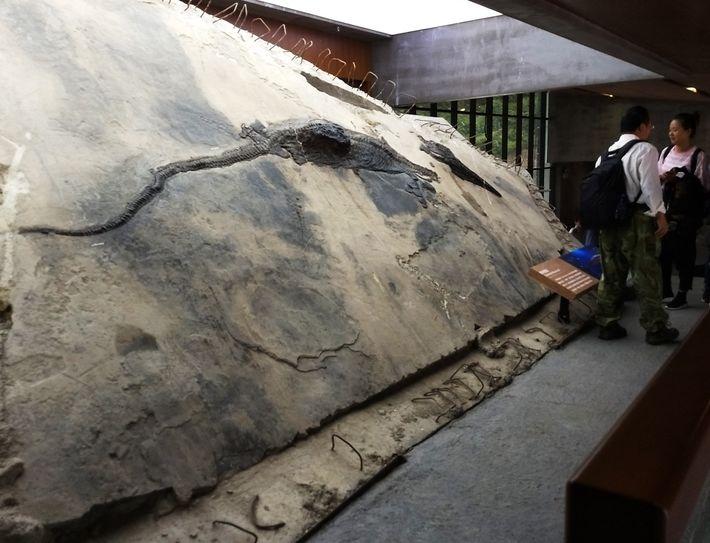 Esta imagem mostra o espécime de ictiossauro com o seu conteúdo estomacal a sair do corpo.