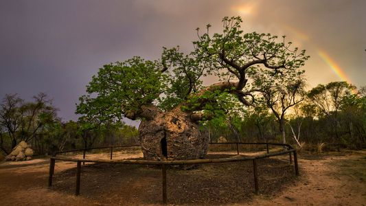19 Árvores Icónicas de Todo o Mundo