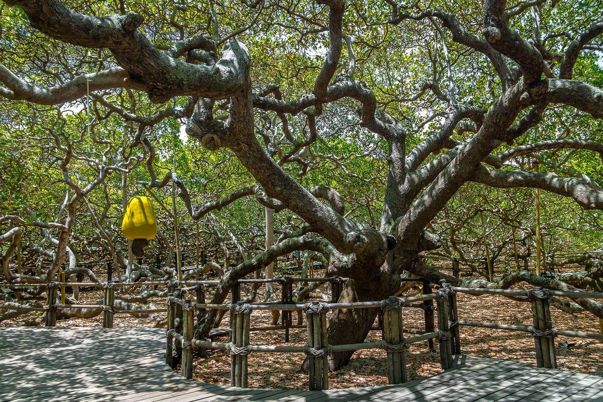 CAJUEIRO: PIRANGI DO NORTE, BRASIL