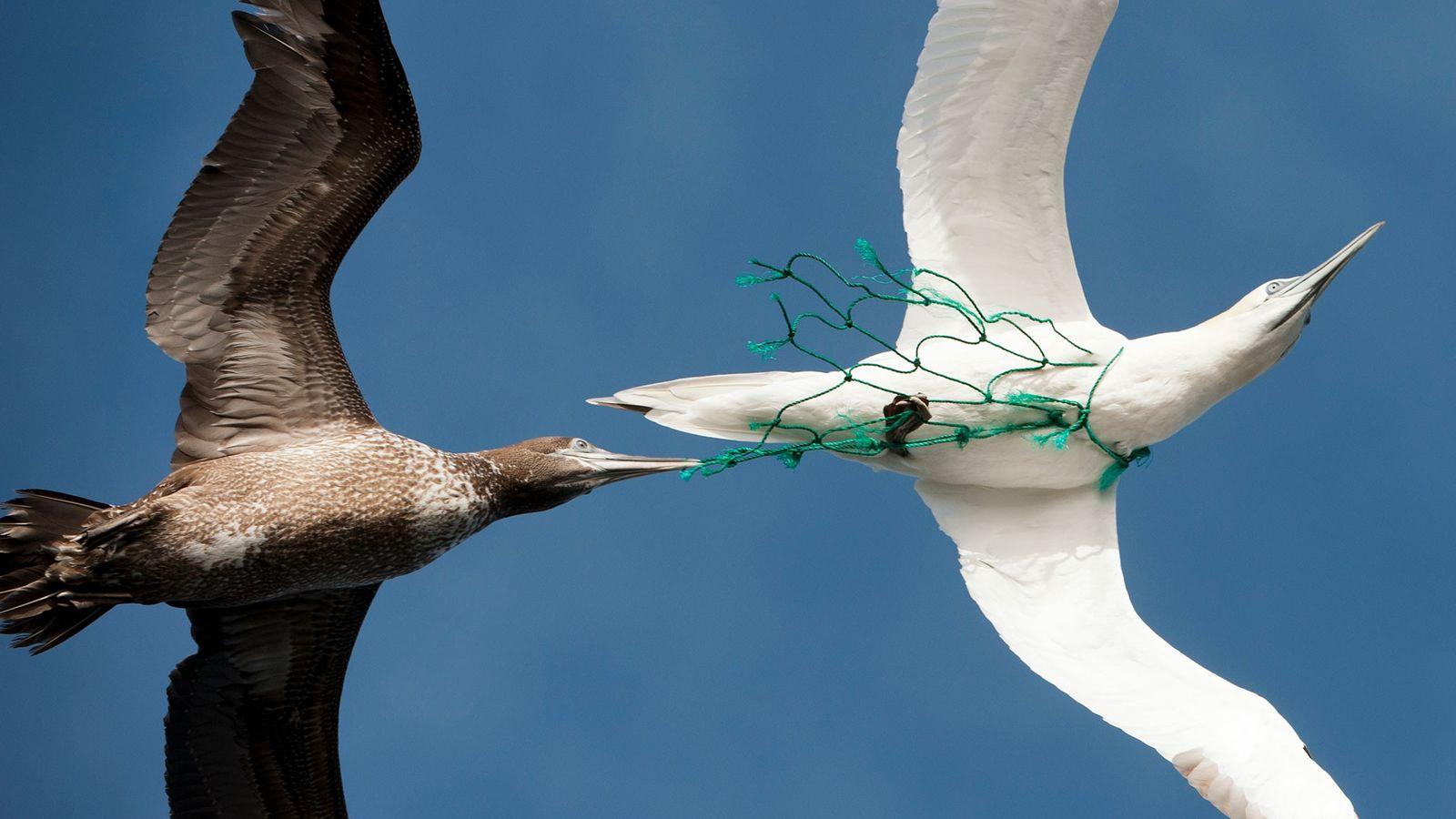 Aves marinhas.