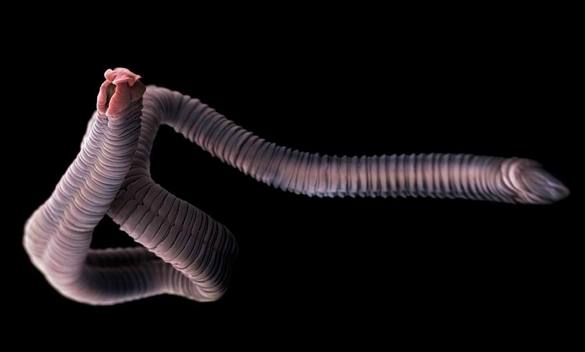 As ténias são parasitas que vivem nos intestinos de humanos e animais.