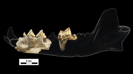 Estes fragmentos de dentes e maxilar encontrados em Dmanisi, um sítio arqueológico com 1.8 milhões de ...