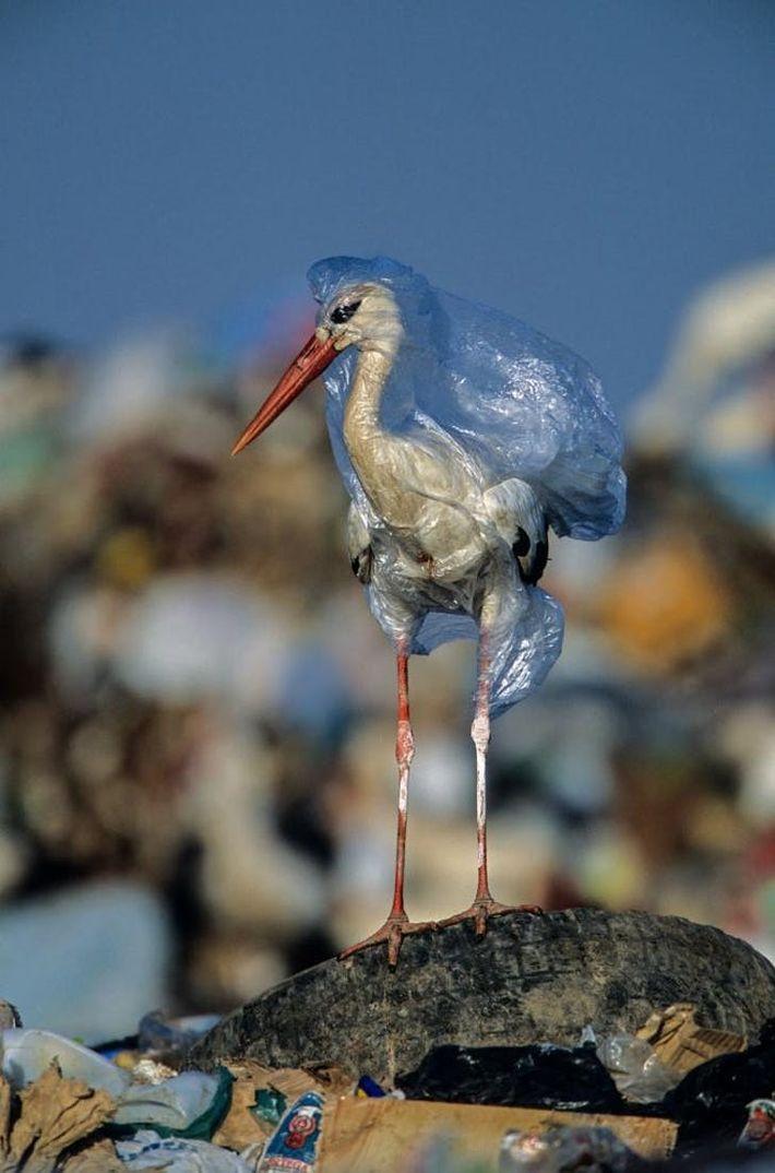 O fotógrafo libertou esta cegonha de um saco de plástico em num aterro sanitário em Espanha. ...