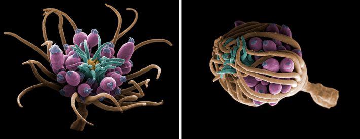 Esquerda: Um hidroide (Echtopleura larynx), pertencente ao mesmo filo de corais, anémonas do mar e medusas, ...