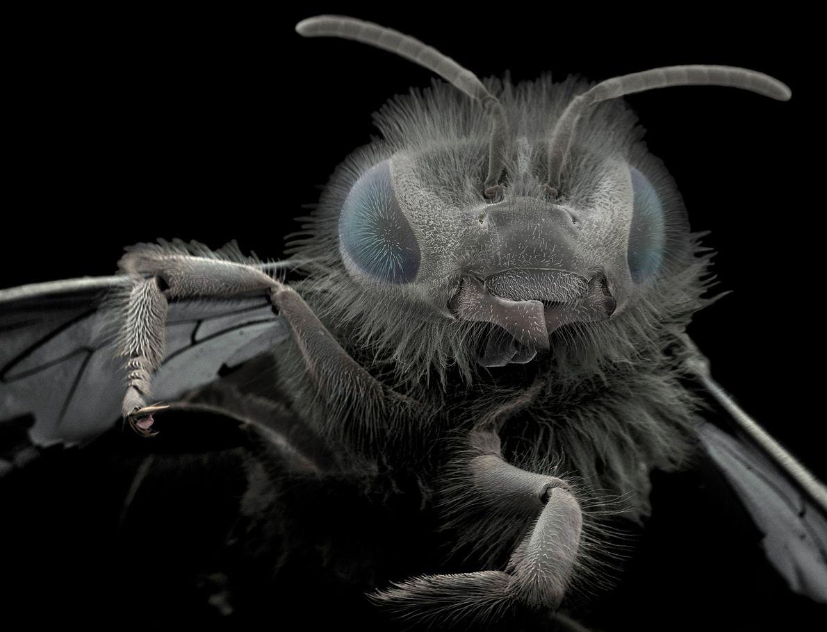 Wiik-Nielsen encontrou esta abelha no seu jardim. As estruturas na base da cabeça são as chamadas ...