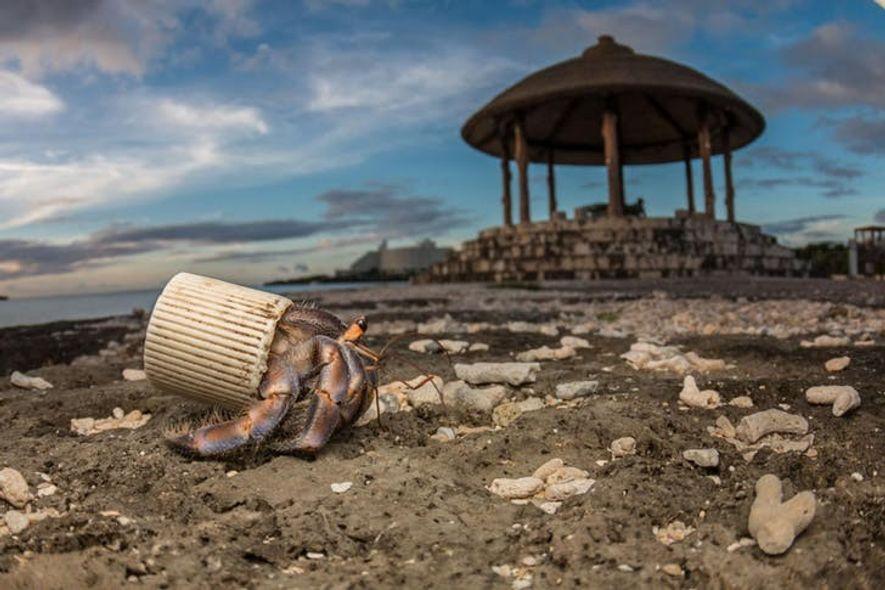 Em Okinawa, no Japão, um caranguejo eremita recorre a uma tampa de garrafa de plástico para ...