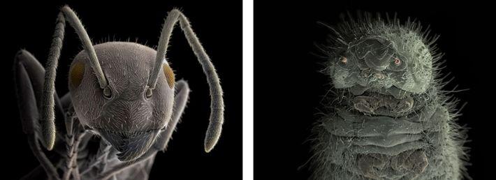"""Esquerda: """"As formigas formam colónias descritas como superorganismos"""", diz Wiik-Nielsen, """"porque parecem funcionar como uma entidade ..."""