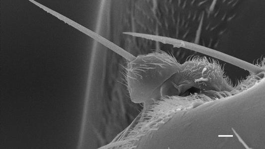 Novas espécies de mosca-formiga descobertas na Península Ibérica