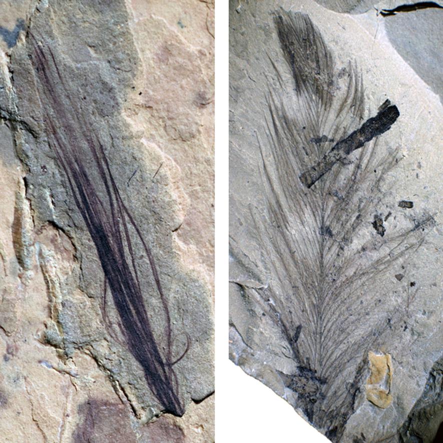 O conjunto de 10 penas fósseis encontradas bem preservadas num sítio de escavação na Austrália inclui ...