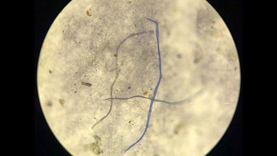 Fibras e detritos minúsculos, recolhidos de um núcleo de gelo, no mar da Gronelândia, observados ao ...