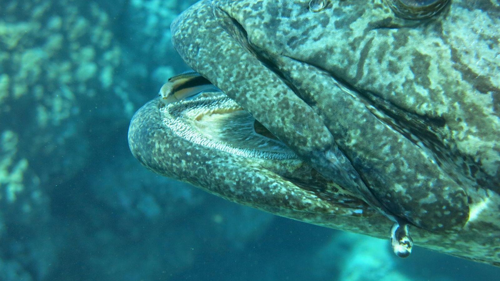 Este estudo focou-se em populações de peixes-limpadores (Labroides dimidiatus) em ambiente selvagem.