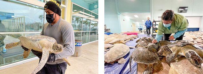Esquerda: Um voluntário da organização conservacionista Sea Turtle Inc. transporta uma tartaruga-verde para o Centro de ...