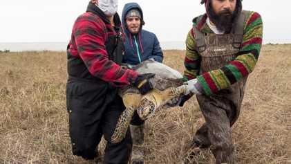Quase 5 mil tartarugas marinhas resgatadas nas águas geladas de ilha no Texas