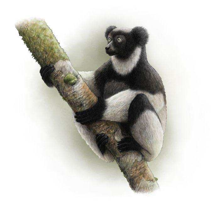 O Indri indri, animal em perigo crítico de extinção, é o maior lémure do mundo.
