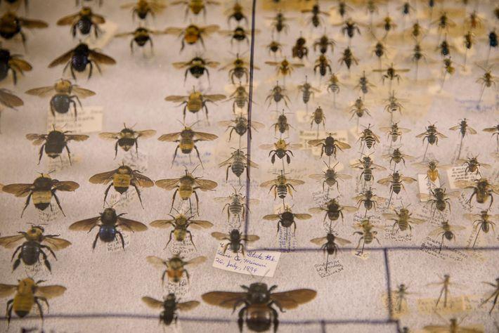 Algumas pessoas colecionam abelhas preservadas. Na Feira de Insetos de Los Angeles existem muitas em exibição.