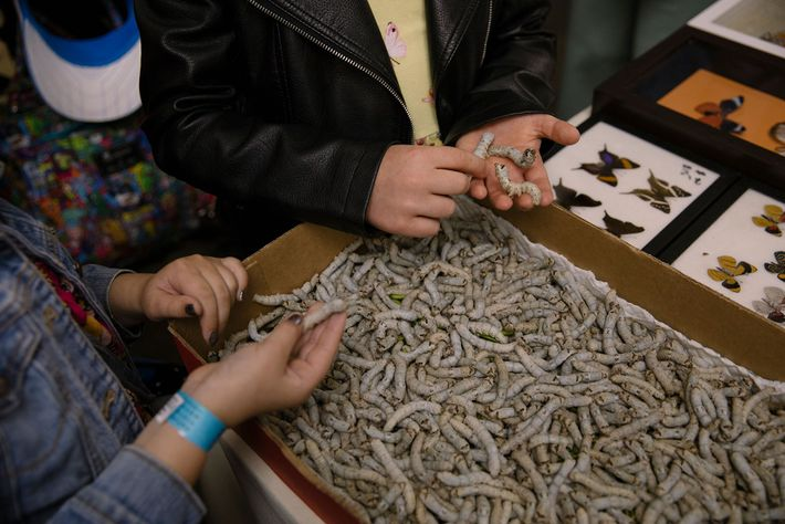 Na Feira de Insetos, os bichos-da-seda atraem multidões, mas não são os únicos animais vivos à ...