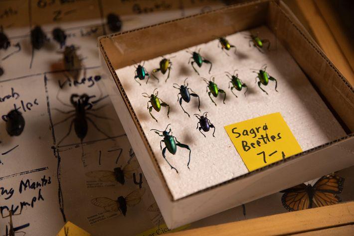 Na Feira de Insetos, no stand de Bob Duff, os besouros Sagra custam 7 dólares cada. ...
