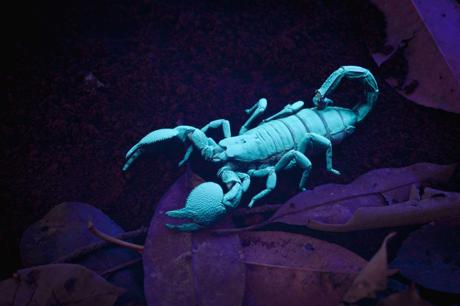 Encontrados nas florestas tropicais da África Ocidental, os escorpiões-imperadores são animais de estimação populares devido ao ...