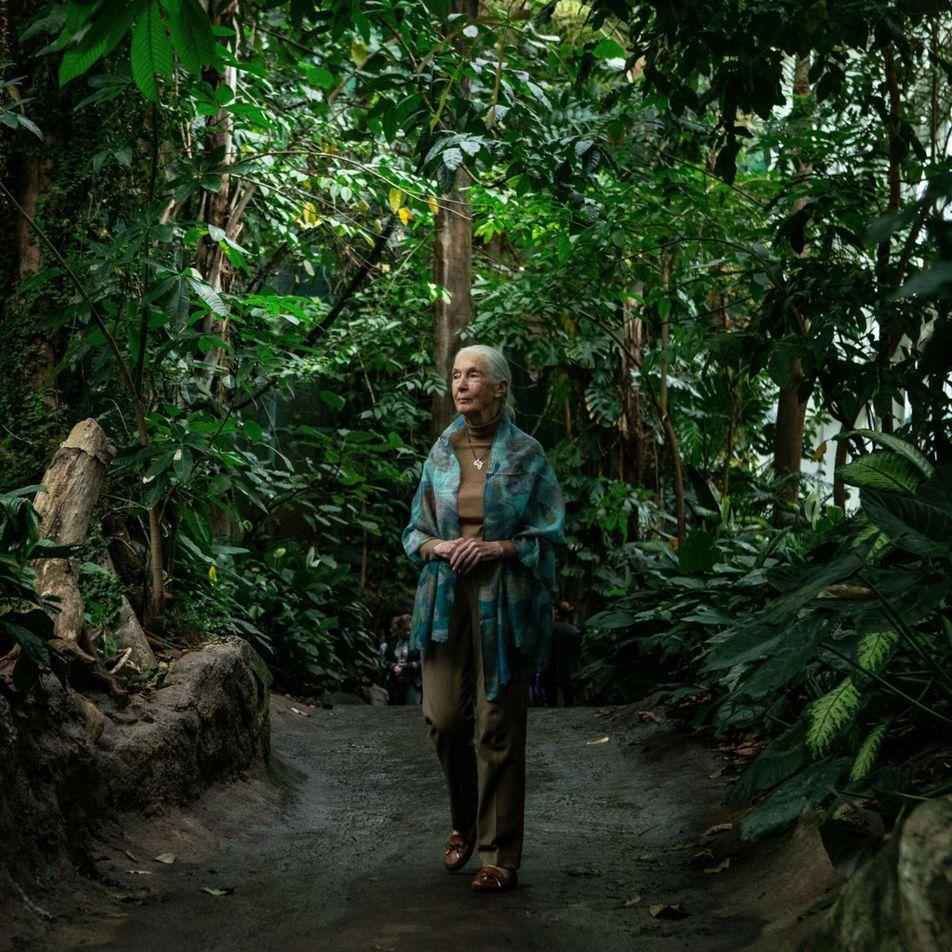 Jane Goodall junta-se a campanha para plantar um bilião de árvores até 2030