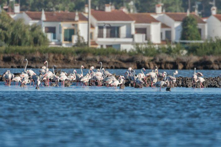Flamingos na Reserva do Sapal