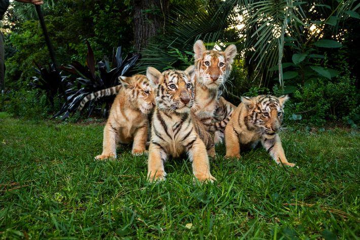 """Crias de tigre e de """"ligre"""" sentadas no relvado do Myrtle Beach Safari em abril de ..."""