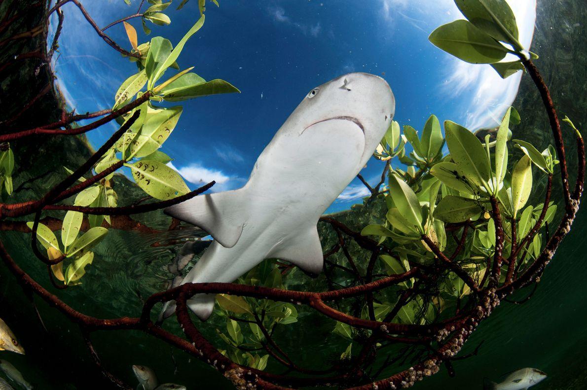 Tubarões-limão juvenis.