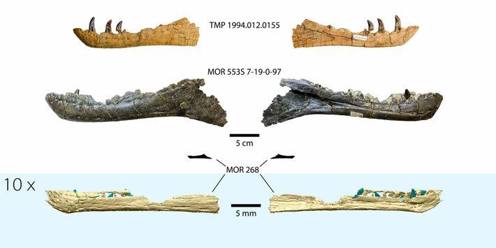 Na parte inferior da imagem vemos uma reconstrução em 3D do maxilar do tiranossauro embrionário, comparada ...