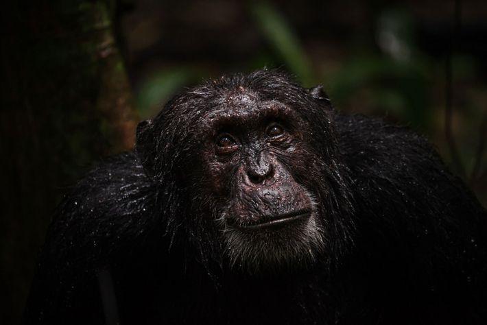 Envelhecimento dos chimpanzés