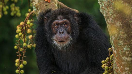 Envelhecimento Chimpanzés