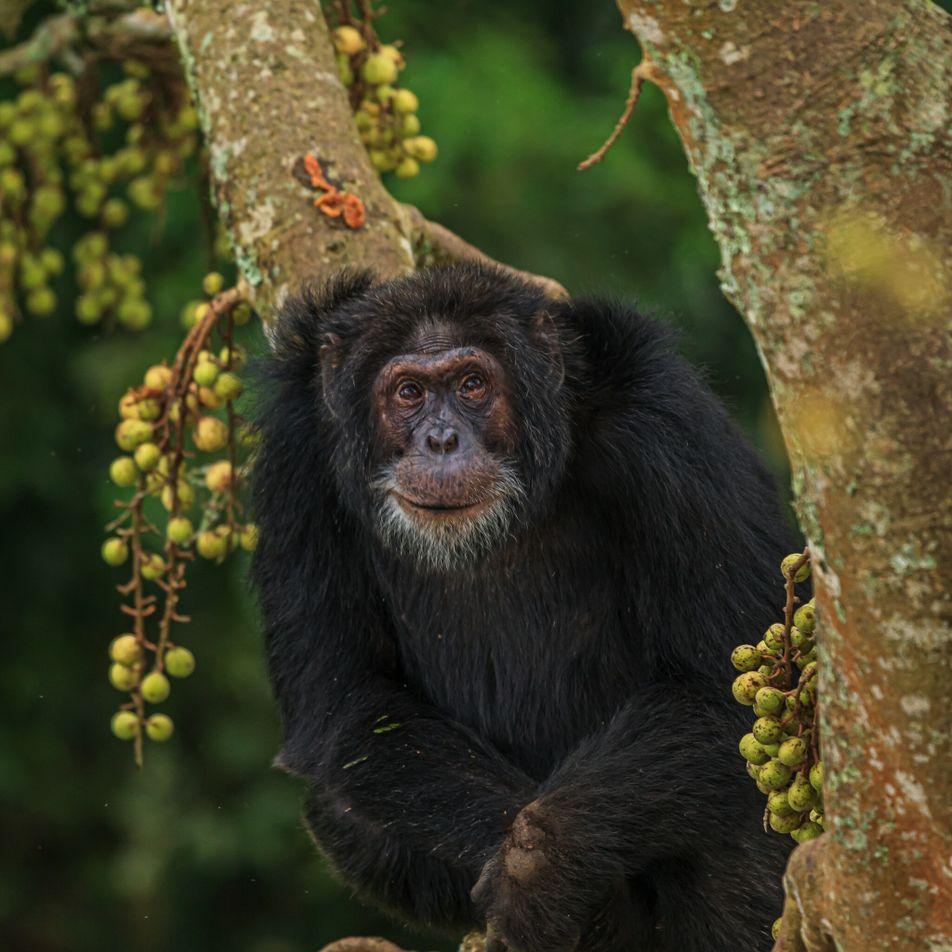 O que os chimpanzés podem ensinar aos humanos sobre envelhecer saudável