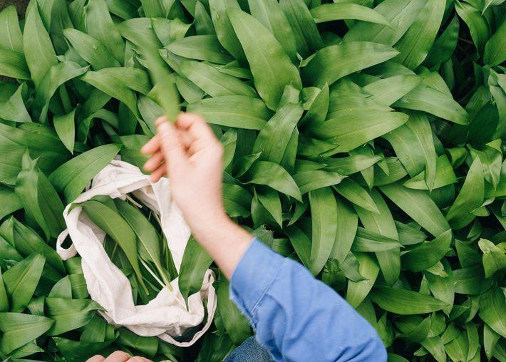 O alho selvagem da Grã-Bretanha, que tem um aroma distinto, pode ser encontrado durante a primavera ...