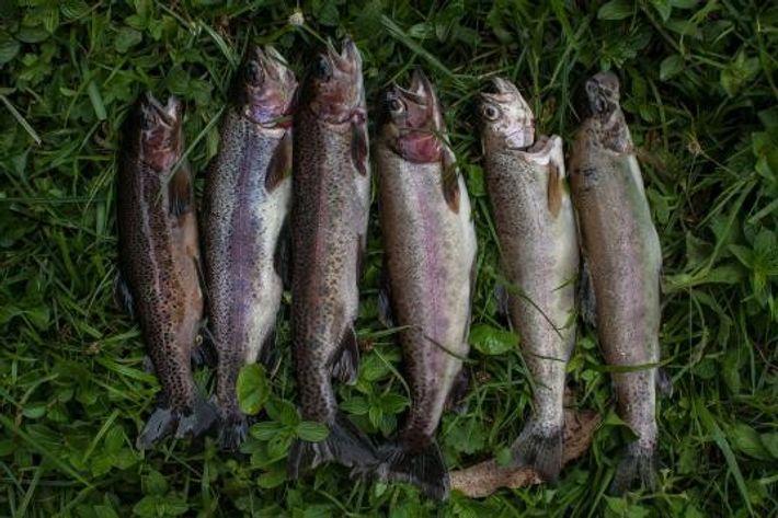 Trutas-arco-íris capturadas recentemente são dispostas alinhadas.