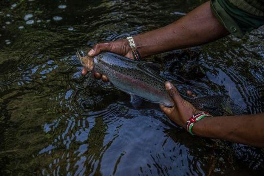 David Miner segura uma truta de tamanho médio capturada numa extensão de águas calmas do rio ...