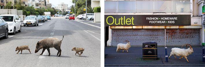Esquerda: Uma mãe javali e os seus dois leitões vagueiam pelas ruas desertas de Haifa, em ...