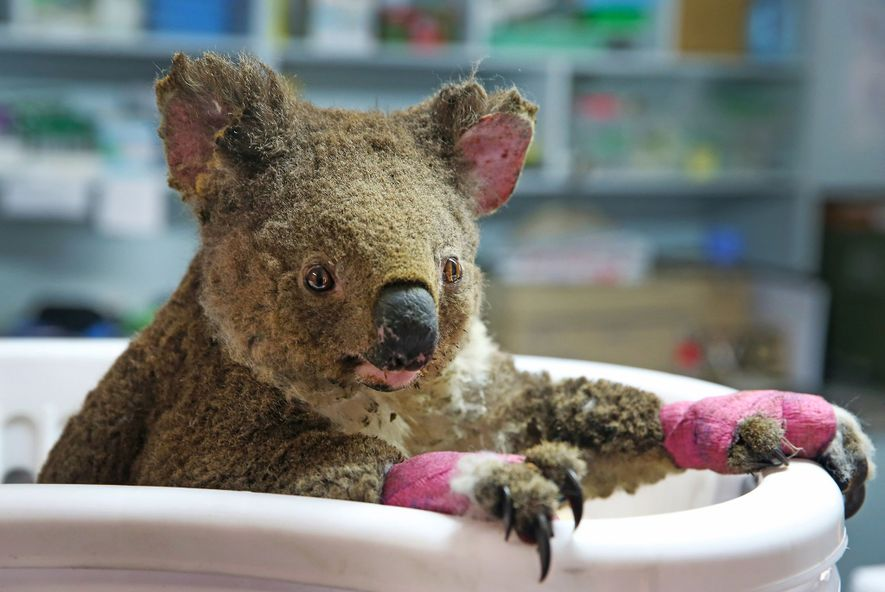 Um coala fêmea, chamado Anwen pelos seus socorristas, recebe tratamento no Hospital Koala, em Port Macquarie, ...