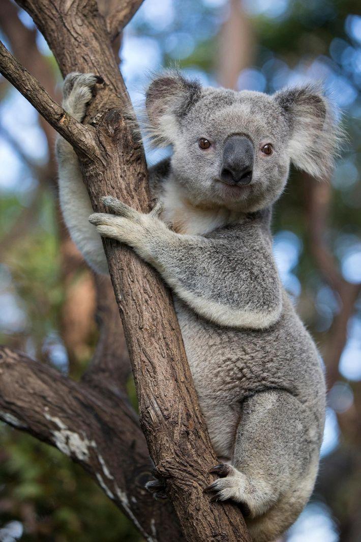 Um coala fotografado em Queensland, na Austrália. Estes marsupiais icónicos têm um raio de alcance vasto ...