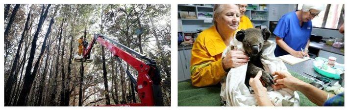Esquerda: Voluntários do Hospital Koala, em Port Macquarie, procuram coalas feridos depois de um incêndio ter ...