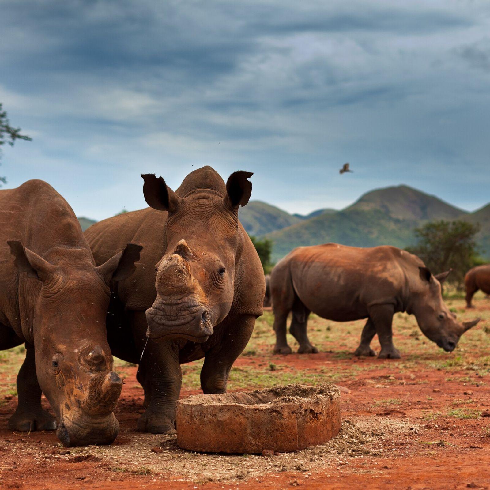 Muitos dos rinocerontes em reservas privadas na África do Sul – como estes no rancho de ...