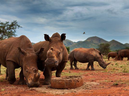 A maior população mundial de rinocerontes caiu 70% numa década