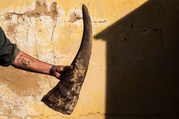 Quando se retiram os chifres aos rinocerontes, uma protuberância de aproximadamente dez centímetros é deixada para ...