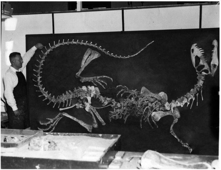 Wann Langston Jr., na Universidade da Califórnia, em Berkeley, supervisiona a reconstrução do primeiro esqueleto de ...
