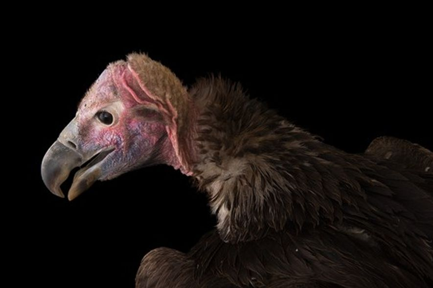 O abutre-real ou abutre-torgo, Torgos tracheliotos